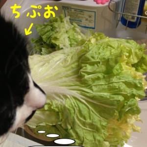 山東白菜すごい量(°_°)